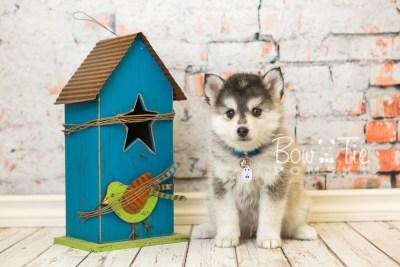 puppy40 week8 BowTiePomsky.com Bowtie Pomsky Puppy For Sale Husky Pomeranian Mini Dog Spokane WA Breeder Blue Eyes Pomskies web6