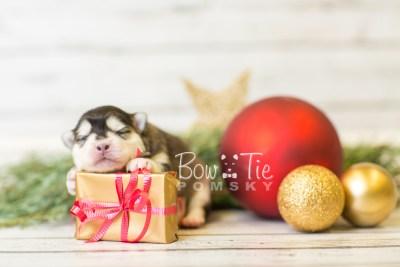 puppy41 week1 BowTiePomsky.com Bowtie Pomsky Puppy For Sale Husky Pomeranian Mini Dog Spokane WA Breeder Blue Eyes Pomskies BowTIePomsky_web-3081