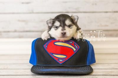 puppy41 week4 BowTiePomsky.com Bowtie Pomsky Puppy For Sale Husky Pomeranian Mini Dog Spokane WA Breeder Blue Eyes Pomskies web3