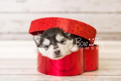 puppy41 week4 BowTiePomsky.com Bowtie Pomsky Puppy For Sale Husky Pomeranian Mini Dog Spokane WA Breeder Blue Eyes Pomskies web4