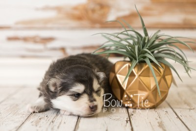 puppy41 week4 BowTiePomsky.com Bowtie Pomsky Puppy For Sale Husky Pomeranian Mini Dog Spokane WA Breeder Blue Eyes Pomskies web5