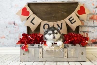 puppy41 week6 BowTiePomsky.com Bowtie Pomsky Puppy For Sale Husky Pomeranian Mini Dog Spokane WA Breeder Blue Eyes Pomskies web1