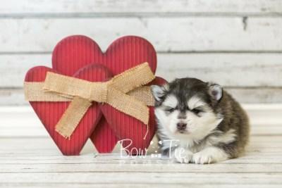 puppy41 week6 BowTiePomsky.com Bowtie Pomsky Puppy For Sale Husky Pomeranian Mini Dog Spokane WA Breeder Blue Eyes Pomskies web5