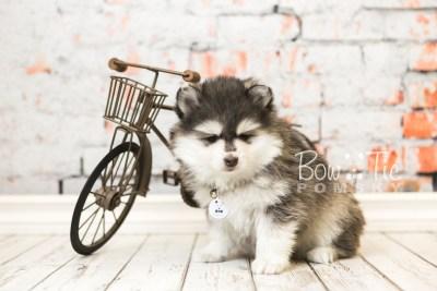 puppy41 week8 BowTiePomsky.com Bowtie Pomsky Puppy For Sale Husky Pomeranian Mini Dog Spokane WA Breeder Blue Eyes Pomskies web1