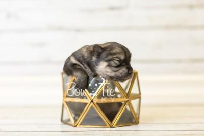 puppy42 week1 BowTiePomsky.com Bowtie Pomsky Puppy For Sale Husky Pomeranian Mini Dog Spokane WA Breeder Blue Eyes Pomskies BowTIePomsky_web-3107