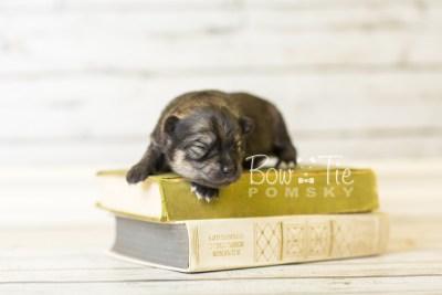 puppy42 week1 BowTiePomsky.com Bowtie Pomsky Puppy For Sale Husky Pomeranian Mini Dog Spokane WA Breeder Blue Eyes Pomskies BowTIePomsky_web-3115