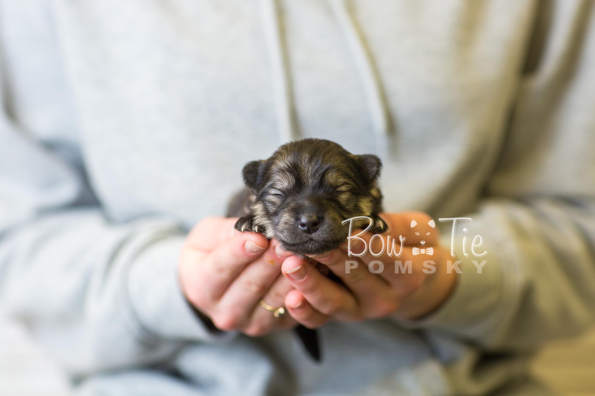 1st Gen Puppy 42 Girl Bowtie Pomsky Llc