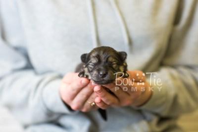 puppy42 week1 BowTiePomsky.com Bowtie Pomsky Puppy For Sale Husky Pomeranian Mini Dog Spokane WA Breeder Blue Eyes Pomskies BowTIePomsky_web-3126