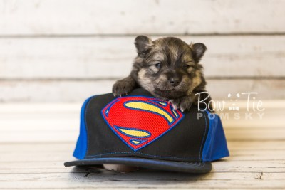 puppy42 week4 BowTiePomsky.com Bowtie Pomsky Puppy For Sale Husky Pomeranian Mini Dog Spokane WA Breeder Blue Eyes Pomskies web3