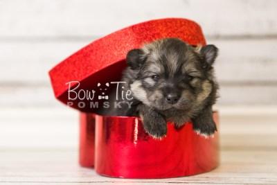puppy42 week4 BowTiePomsky.com Bowtie Pomsky Puppy For Sale Husky Pomeranian Mini Dog Spokane WA Breeder Blue Eyes Pomskies web4
