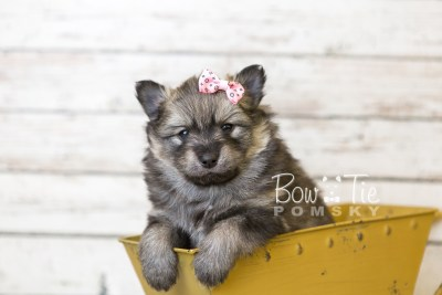 puppy42 week6 BowTiePomsky.com Bowtie Pomsky Puppy For Sale Husky Pomeranian Mini Dog Spokane WA Breeder Blue Eyes Pomskies web5
