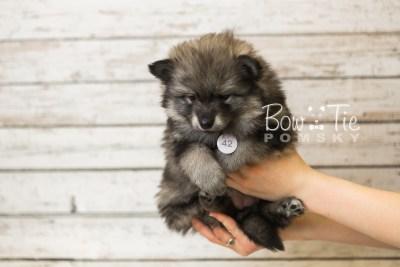 puppy42 week8 BowTiePomsky.com Bowtie Pomsky Puppy For Sale Husky Pomeranian Mini Dog Spokane WA Breeder Blue Eyes Pomskies web1
