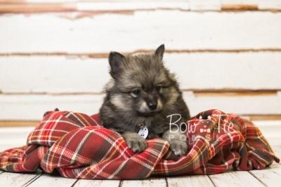puppy42 week8 BowTiePomsky.com Bowtie Pomsky Puppy For Sale Husky Pomeranian Mini Dog Spokane WA Breeder Blue Eyes Pomskies web2
