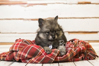 puppy42 week8 BowTiePomsky.com Bowtie Pomsky Puppy For Sale Husky Pomeranian Mini Dog Spokane WA Breeder Blue Eyes Pomskies web2