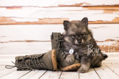 puppy42 week8 BowTiePomsky.com Bowtie Pomsky Puppy For Sale Husky Pomeranian Mini Dog Spokane WA Breeder Blue Eyes Pomskies web4