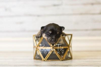 puppy43 week1 BowTiePomsky.com Bowtie Pomsky Puppy For Sale Husky Pomeranian Mini Dog Spokane WA Breeder Blue Eyes Pomskies BowTIePomsky_web-3146