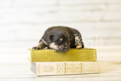 puppy43 week1 BowTiePomsky.com Bowtie Pomsky Puppy For Sale Husky Pomeranian Mini Dog Spokane WA Breeder Blue Eyes Pomskies BowTIePomsky_web-3175