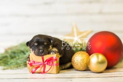 puppy43 week1 BowTiePomsky.com Bowtie Pomsky Puppy For Sale Husky Pomeranian Mini Dog Spokane WA Breeder Blue Eyes Pomskies BowTIePomsky_web-3178