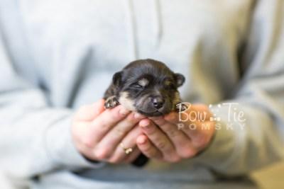 puppy43 week1 BowTiePomsky.com Bowtie Pomsky Puppy For Sale Husky Pomeranian Mini Dog Spokane WA Breeder Blue Eyes Pomskies BowTIePomsky_web-3180