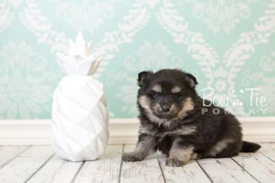 puppy43 week6 BowTiePomsky.com Bowtie Pomsky Puppy For Sale Husky Pomeranian Mini Dog Spokane WA Breeder Blue Eyes Pomskies web3