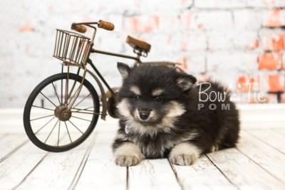 puppy43 week8 BowTiePomsky.com Bowtie Pomsky Puppy For Sale Husky Pomeranian Mini Dog Spokane WA Breeder Blue Eyes Pomskies web1