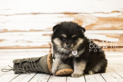 puppy43 week8 BowTiePomsky.com Bowtie Pomsky Puppy For Sale Husky Pomeranian Mini Dog Spokane WA Breeder Blue Eyes Pomskies web3