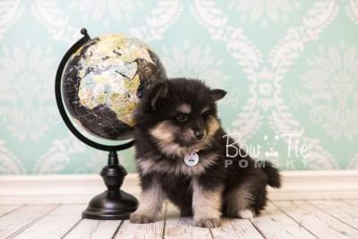 puppy43 week8 BowTiePomsky.com Bowtie Pomsky Puppy For Sale Husky Pomeranian Mini Dog Spokane WA Breeder Blue Eyes Pomskies web5