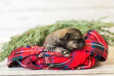 puppy44 week1 BowTiePomsky.com Bowtie Pomsky Puppy For Sale Husky Pomeranian Mini Dog Spokane WA Breeder Blue Eyes Pomskies BowTIePomsky_web-3181