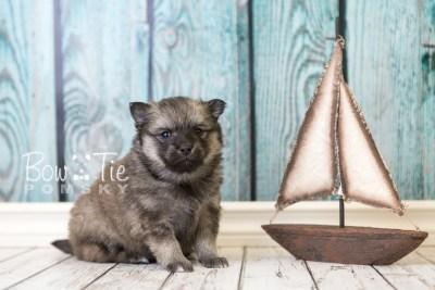puppy44 week6 BowTiePomsky.com Bowtie Pomsky Puppy For Sale Husky Pomeranian Mini Dog Spokane WA Breeder Blue Eyes Pomskies web1
