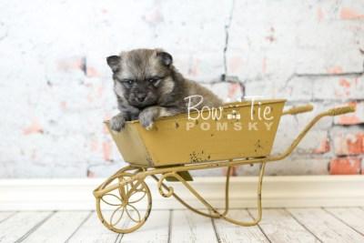 puppy44 week6 BowTiePomsky.com Bowtie Pomsky Puppy For Sale Husky Pomeranian Mini Dog Spokane WA Breeder Blue Eyes Pomskies web5