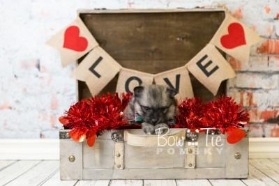 puppy44 week6 BowTiePomsky.com Bowtie Pomsky Puppy For Sale Husky Pomeranian Mini Dog Spokane WA Breeder Blue Eyes Pomskies web6