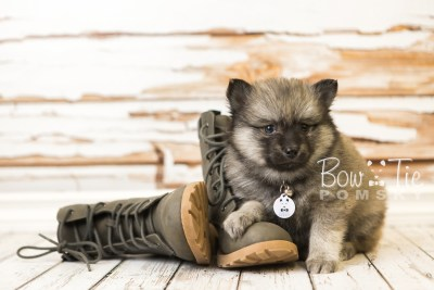 puppy44 week8 BowTiePomsky.com Bowtie Pomsky Puppy For Sale Husky Pomeranian Mini Dog Spokane WA Breeder Blue Eyes Pomskies web4