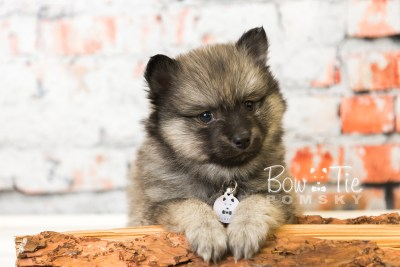 puppy44 week8 BowTiePomsky.com Bowtie Pomsky Puppy For Sale Husky Pomeranian Mini Dog Spokane WA Breeder Blue Eyes Pomskies web5
