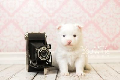 puppy45 week5 BowTiePomsky.com Bowtie Pomsky Puppy For Sale Husky Pomeranian Mini Dog Spokane WA Breeder Blue Eyes Pomskies web1
