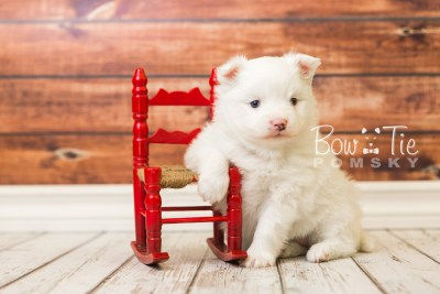 puppy45 week5 BowTiePomsky.com Bowtie Pomsky Puppy For Sale Husky Pomeranian Mini Dog Spokane WA Breeder Blue Eyes Pomskies web4