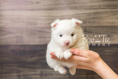 puppy45 week5 BowTiePomsky.com Bowtie Pomsky Puppy For Sale Husky Pomeranian Mini Dog Spokane WA Breeder Blue Eyes Pomskies web6