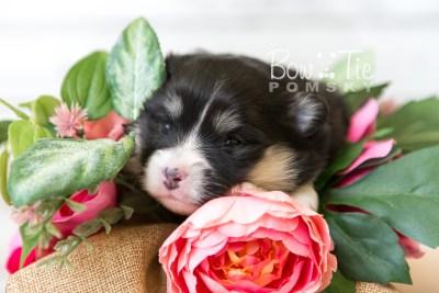 puppy46 week3 BowTiePomsky.com Bowtie Pomsky Puppy For Sale Husky Pomeranian Mini Dog Spokane WA Breeder Blue Eyes Pomskies web3