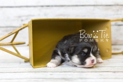 puppy46 week3 BowTiePomsky.com Bowtie Pomsky Puppy For Sale Husky Pomeranian Mini Dog Spokane WA Breeder Blue Eyes Pomskies web5