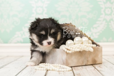 puppy46 week5 BowTiePomsky.com Bowtie Pomsky Puppy For Sale Husky Pomeranian Mini Dog Spokane WA Breeder Blue Eyes Pomskies web3