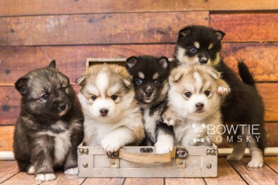 puppy47-51 week5 BowTiePomsky.com Bowtie Pomsky Puppy For Sale Husky Pomeranian Mini Dog Spokane WA Breeder Blue Eyes Pomskies web1