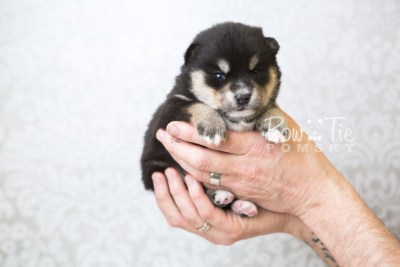 puppy47 week3 BowTiePomsky.com Bowtie Pomsky Puppy For Sale Husky Pomeranian Mini Dog Spokane WA Breeder Blue Eyes Pomskies web6