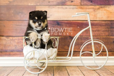 puppy47 week5 BowTiePomsky.com Bowtie Pomsky Puppy For Sale Husky Pomeranian Mini Dog Spokane WA Breeder Blue Eyes Pomskies web2