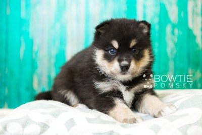 puppy47 week5 BowTiePomsky.com Bowtie Pomsky Puppy For Sale Husky Pomeranian Mini Dog Spokane WA Breeder Blue Eyes Pomskies web3
