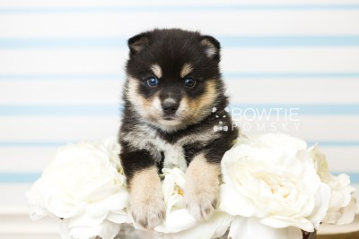 puppy47 week5 BowTiePomsky.com Bowtie Pomsky Puppy For Sale Husky Pomeranian Mini Dog Spokane WA Breeder Blue Eyes Pomskies web5