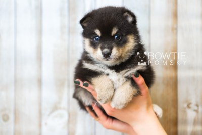 puppy47 week5 BowTiePomsky.com Bowtie Pomsky Puppy For Sale Husky Pomeranian Mini Dog Spokane WA Breeder Blue Eyes Pomskies web6