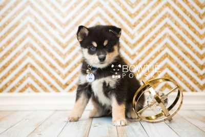 puppy47 week7 BowTiePomsky.com Bowtie Pomsky Puppy For Sale Husky Pomeranian Mini Dog Spokane WA Breeder Blue Eyes Pomskies web1