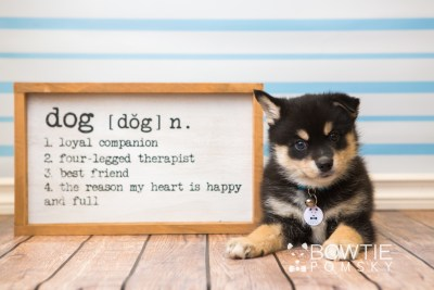 puppy47 week7 BowTiePomsky.com Bowtie Pomsky Puppy For Sale Husky Pomeranian Mini Dog Spokane WA Breeder Blue Eyes Pomskies web5