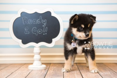 puppy47 week7 BowTiePomsky.com Bowtie Pomsky Puppy For Sale Husky Pomeranian Mini Dog Spokane WA Breeder Blue Eyes Pomskies web6