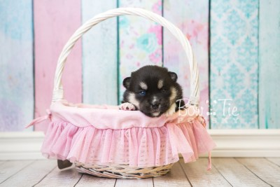 puppy48 week3 BowTiePomsky.com Bowtie Pomsky Puppy For Sale Husky Pomeranian Mini Dog Spokane WA Breeder Blue Eyes Pomskies web3