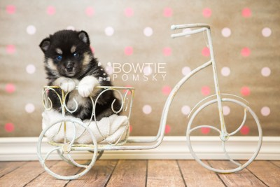 puppy48 week5 BowTiePomsky.com Bowtie Pomsky Puppy For Sale Husky Pomeranian Mini Dog Spokane WA Breeder Blue Eyes Pomskies web3